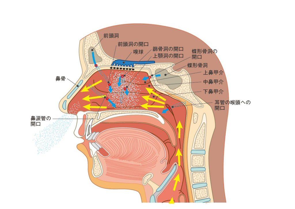 鼻腔の構造-ステロイド経鼻呼出法