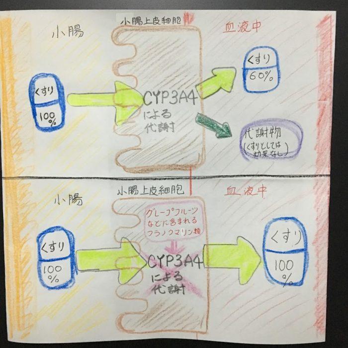 小腸におけるCYP3A4の薬物代謝をグレープフルーツなど由来のフラノクマリン類が阻害する図