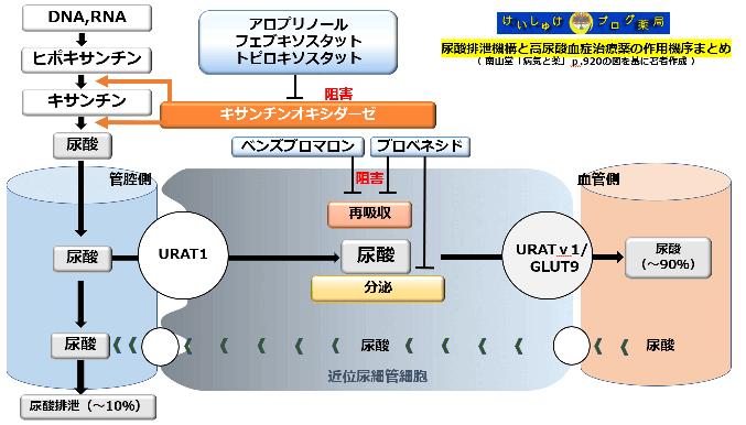 高尿酸血症薬の作用機序と尿酸排泄機構についてまとめた図