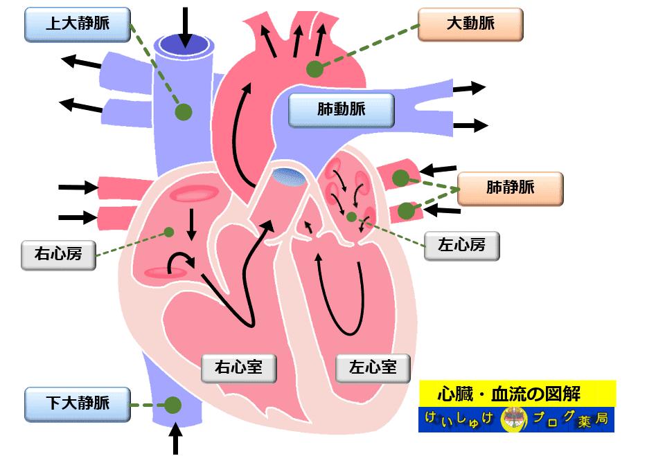 図2 心臓の各部位名称と血液の流れを書き込んでみたイラスト