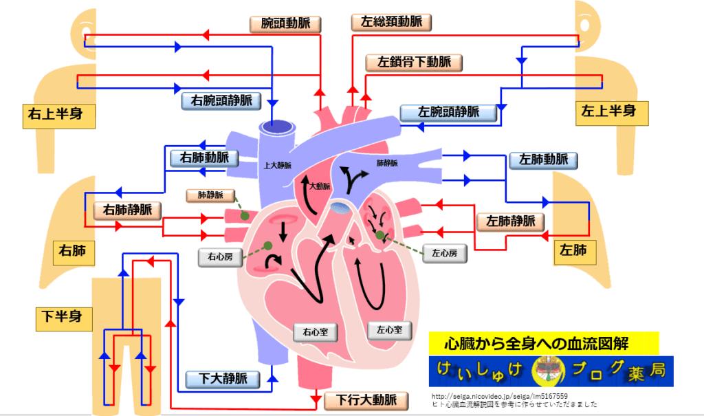 図3 心臓から全身への血流を図解するイラストです