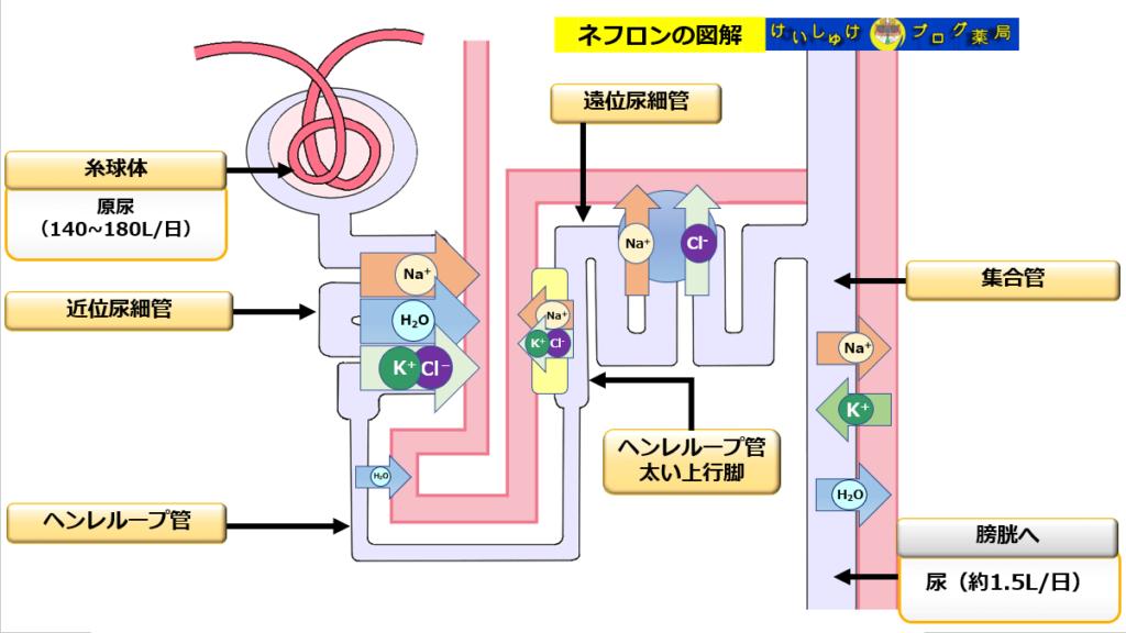 ネフロンの図解:原尿と尿、水とミネラルの動きを示したイラスト