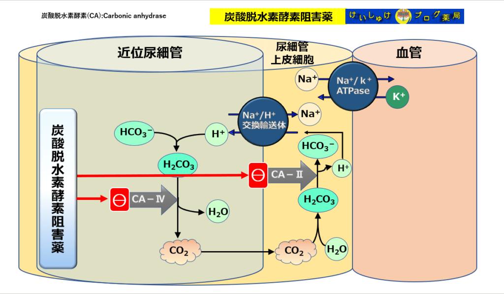 炭酸脱水素酵素阻害薬であるアセタゾラミド(ダイアモックス®)の作用機序を図解したで