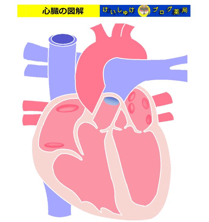 図1 心臓の断面図イラスト