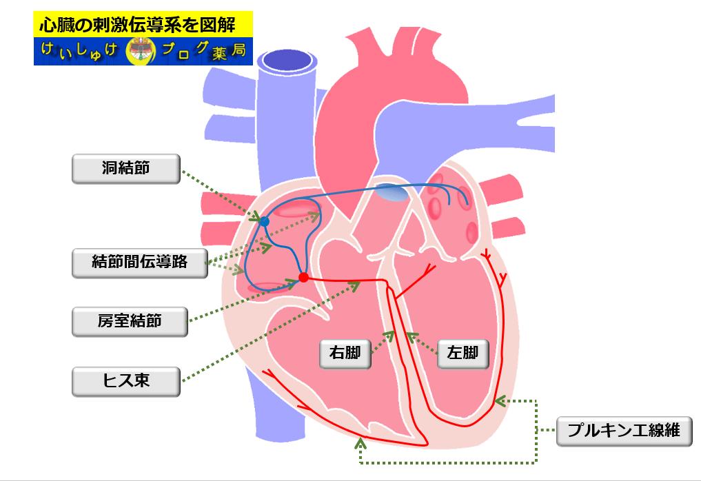 心臓の刺激伝導系を図解したイラストです